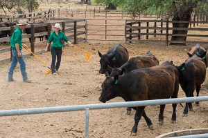 Cattle tend to move around a handler in a circular motion or through a gateway in a curve.