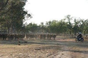 Mustering involves gathering up individual animals and groups of animlas and bringing them together.