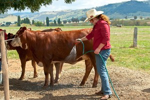 Regular washing helps to prepare the steer or heifer for the show.