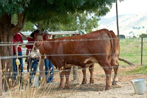 Cattle need time to become familiar with the noise and activity created by school students.