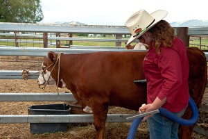 It is important to be patient and calm when using a blower to dry the cattle.