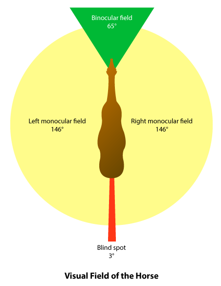 diagram showing a horses wide field of vision