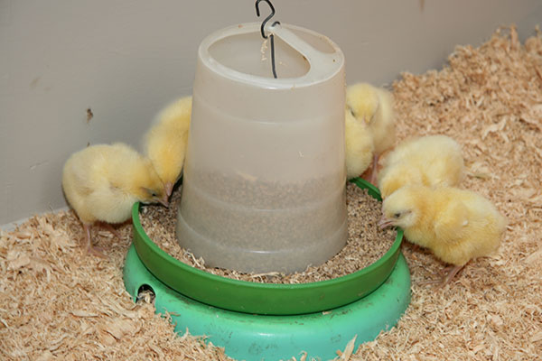Chicks should be fed starter crumble with 18 – 20% protein.