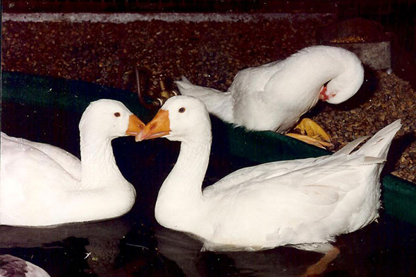 All waterfowl should also have access to some sort of pond or large tub of water that they can swim in or at least fully immerse their head and shake water over themselves.