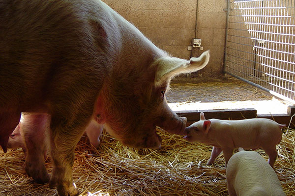 Sows with piglets can become aggressive as they have strong maternal instincts and are protective of their piglets.