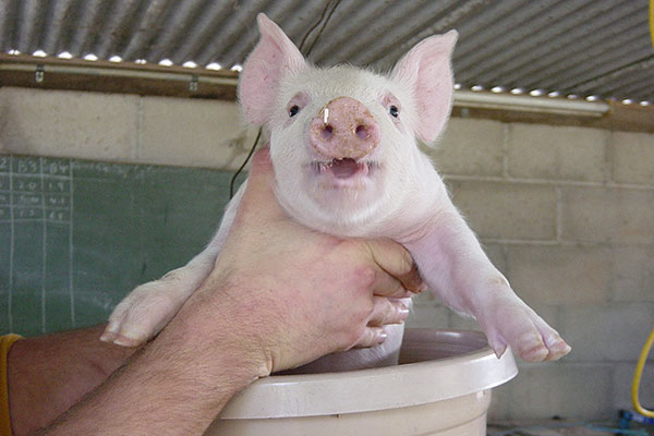 piglet being placed in a bucket