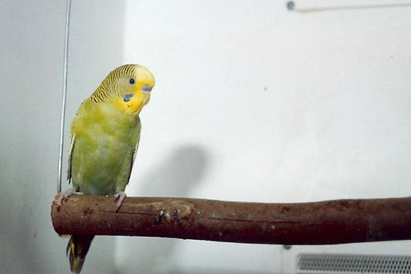 budgie on perch