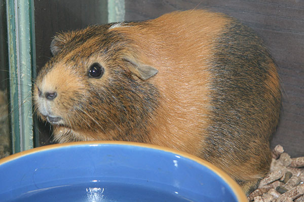 guines pig drinking